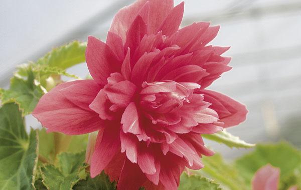 Begonia Belleconia Rose