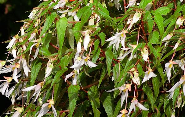 Begonia Summerwings White