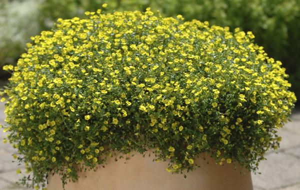 Mecardonia 39 gold dust 39 - Plante qui aime le soleil ...