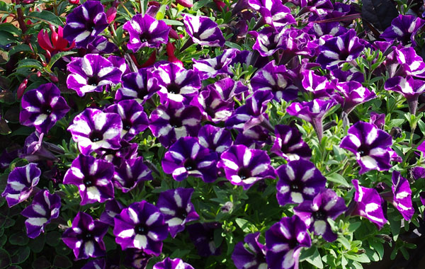 Petunia Grape Star