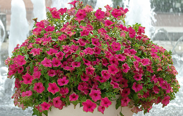 Petunia Picasso in Pink