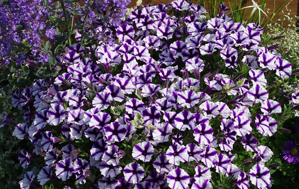 Petunia Violet Star