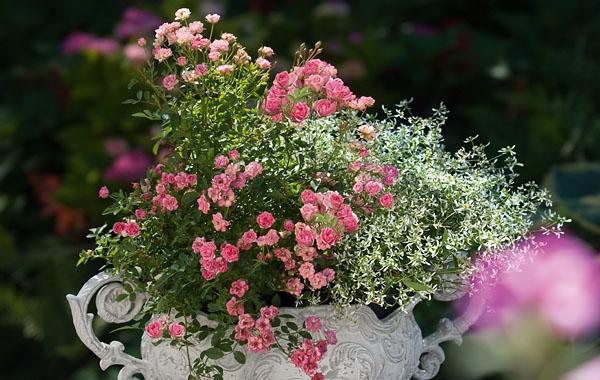 Rosen Fã¼R Balkon | Lillyrose Rose Fur Balkon Und Terrasse