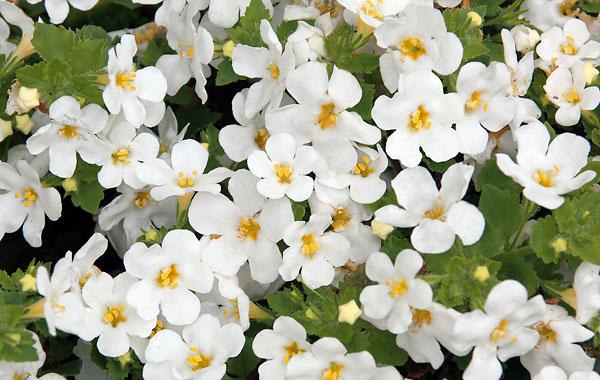 Sutera - Bacopa - Schneeflockenblume