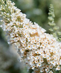 Schmetterlingsflieder BUZZ Ivory