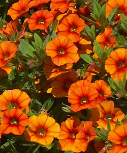 Superbells Orange von Proven Winners.