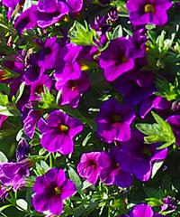 Zauberglöckchen Unique Lilac