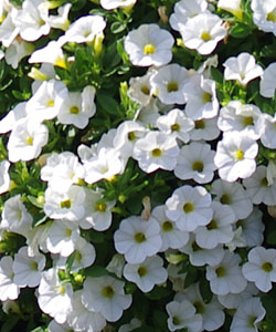 Superbells White von Proven Winners.