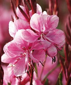 Prachtkerze  Lillipop Pink