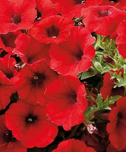 Petunie Veranda Scarlet