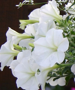 Petunie Veranda White