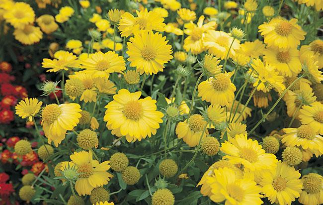 Gaillardia Sun Buddies Yellow