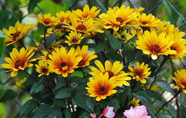 Heliopsis Kientzler Jeunes Plants