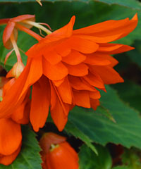 BELLECONIA Hot Orange von Proven Winners.
