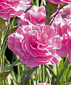 DEVON COTTAGE Pink von Proven Winners.