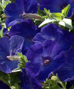 VERANDA Dark Blue von Proven Winners.