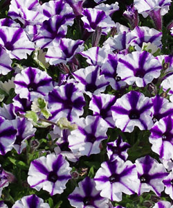 MINI VISTA Violet Star von Proven Winners.